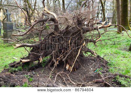 Fallen Tree On Cemetery