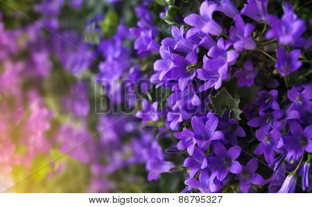 Purple Bell Flower