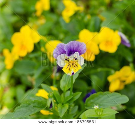 Pensies Flowers, Viola Tricolor Pansy