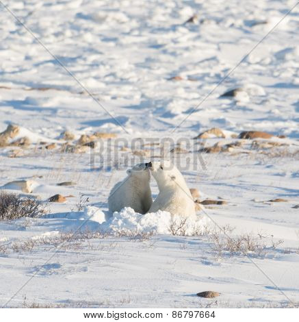 Female Polar Bear Nursng Cub