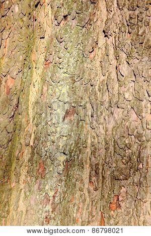 Bark of a London Plane Tree