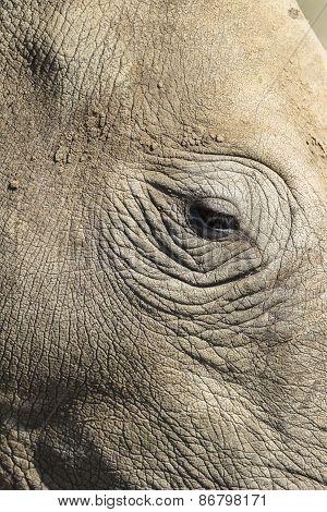 Rhino Head Eye