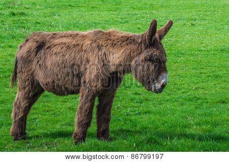 Donkey staring at the grass