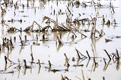 picture of rich soil  - Field of corn flooded by heavy rains and suffering crop damage on a farm - JPG
