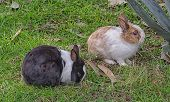 image of cony  - View of couple of rabbits in the countryside  - JPG