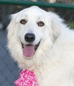 picture of pink eyes  - Great Pyrenees with beautiful eyes - JPG