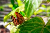 image of mating animal  - Two orange butterflies mating in Phuket Butterfly Garden Thailand - JPG