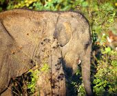picture of indian elephant  - small fun indian baby elephant in jungle - JPG