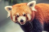 stock photo of panda  - Portrait of a Red Panda - JPG
