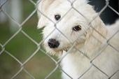 picture of chain link fence  - A cute white puppy dog is tilting his head curiously and looking through a chain link fence - JPG