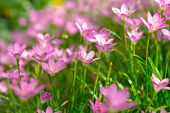 picture of lily  - Pink Zephyranthes Lily Rain Lily Fairy Lily and Little Witches in the garden - JPG
