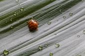picture of water bug  - Close-up little ladybug on green plant leaf with water drops