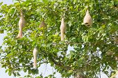 image of bird-nest  - Baya weaver bird nest at a branch of the tree - JPG