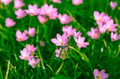 foto of lily  - Zephyranthes Lily or  Rain Lily or Fairy Lily or Little Witches in the garden - JPG