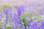 pic of blue-salvia  - Blue Salvia farinacea flowers blooming in the garden  - JPG
