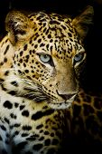 pic of animal teeth  - Closeup Leopard portrait animal wildlife on black background - JPG
