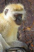 picture of monkeys  - A vervet monkey Chlorocebus pygerythrus sitting on a tree - JPG