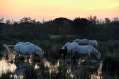 foto of feeding horse  - Camargue Horses in morninglight in a pond of water - JPG
