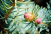 stock photo of blue spruce  - few buds at the branch of the blue spruce - JPG