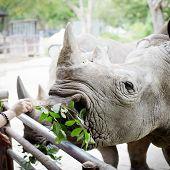 picture of rhino  - Closeup shot at the head of Rhino eating leaves - JPG