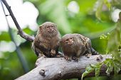 foto of zoo  - Pygmy marmoset  - JPG