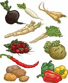 image of parsnips  - Vector illustrations of vegetables  - JPG