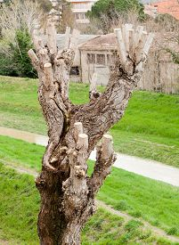stock photo of prunes  - Close up of Pruned Tree detail of the pruning of the branches - JPG