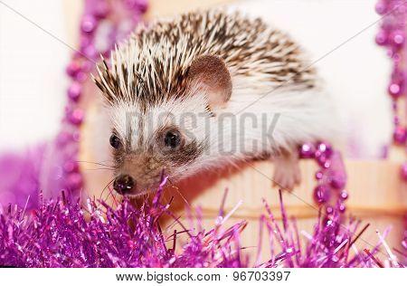 A Cute Little Hedgehog - ( African White- Bellied Hedgehog )