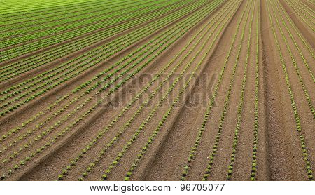Huge Field Of Salad Sprouts Grown