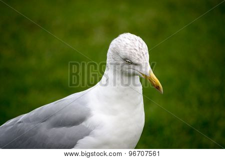 Close Up Seagull Herring Gull Profile Green Background Horizontal