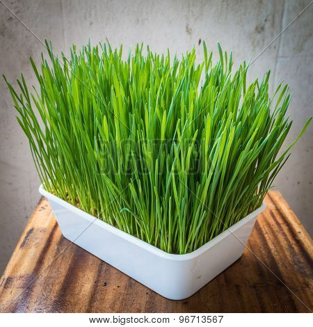 Wheatgrass In Plastic Pot