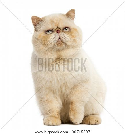 Persian sitting in front of a white background