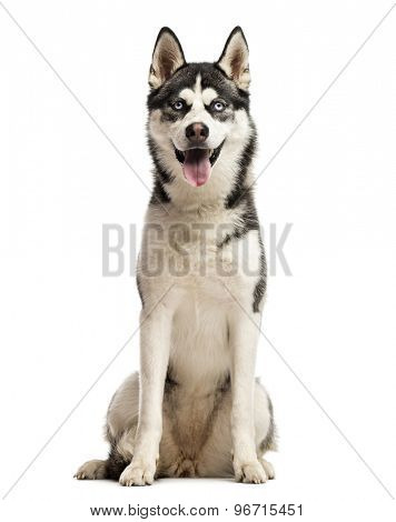 Siberian Husky sitting in front of a white background