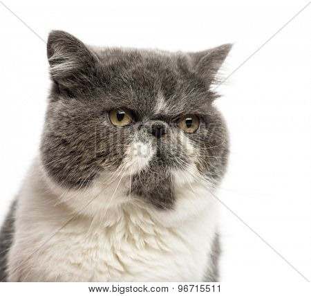 Close-up of a Persian in front of a white background
