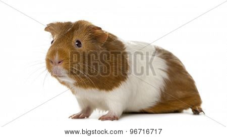 Guinea pig in front of a white background