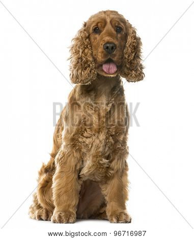 English Cocker Spaniel sitting in front of a white background