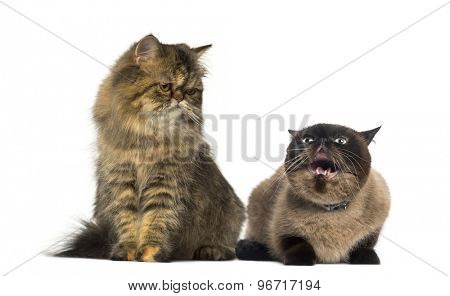 Two Persians in front of a white background