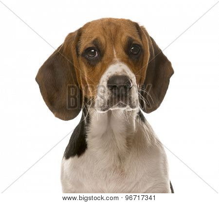 Clos-up of a Beagle in front of a white background