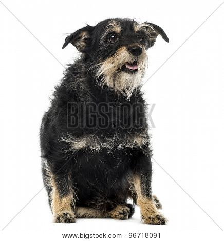 Fat Fox Terrier sitting in front of a white background