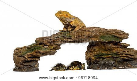 Bearded Dragon lying on a rock with two turtles underneath in front of a white background