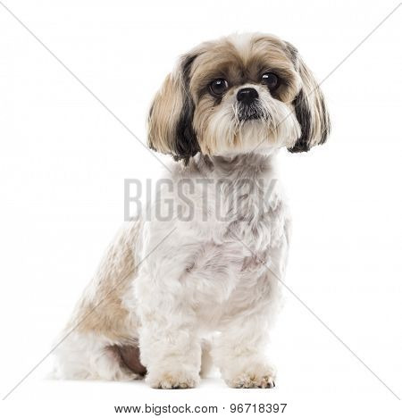 Shih Tzu sitting in front of a white background