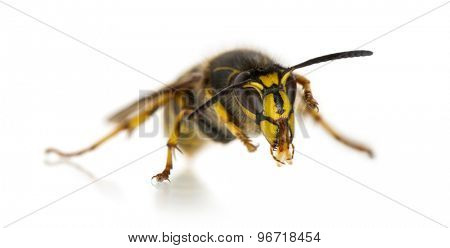 Wasp cleaning itself in front of a white background