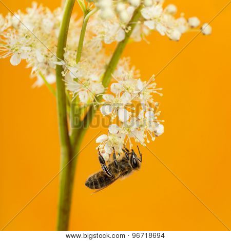 Honey bee foraging in front of an orange background