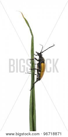 Soldier Beetle on a twig in front of a white background