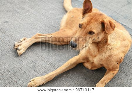 Brown Homeless Thai Dog On The Street