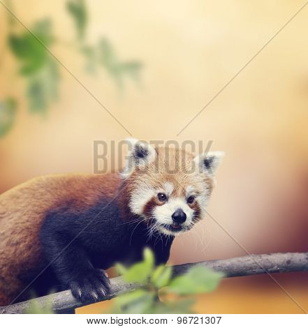 Red Panda Bear Climbing On A Tree