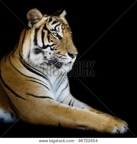 Beautiful Tiger - Isolated On Black Background