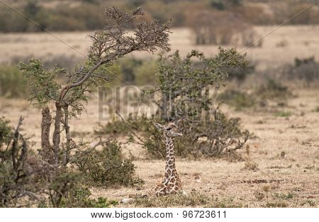 Calf Of  Masai Giraffe