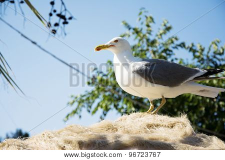 Seagull On The Roof