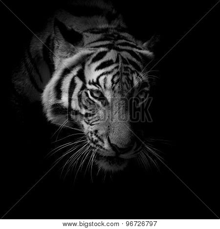 Black & White Close Up Face Tiger Isolated On Black Background